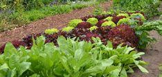 Mischkultur: Gemüsebeete für die Hauptkultur planen