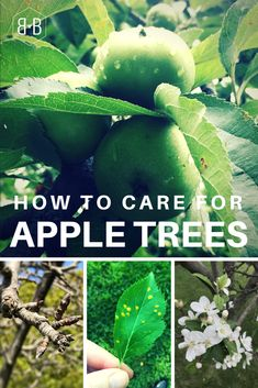 Growing Vegetables If you inherited an apple tree, you might not be sure how to care for it. Here's how to make sure you get the best crop every year, from pruning an apple tree to preventing disease and pests. Fruit Tree Garden, Pruning Fruit Trees, Garden Trees, Apple Tree Pruning, Planting Apple Trees, Apple Tree Care, Apple Tree From Seed, Tree Bees, Home Vegetable Garden