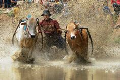 Taken in West Sumatra of Indonesia, Farmers hold the race in the rice fields, usually during the harvest season.