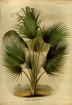 Thrinax barbadensis (Coccothrinax barbadensis[)