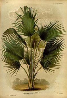 Thrinax barbadensis (Coccothrinax barbadensis[)