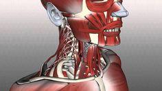Vocal Anatomy: Anatomy Zone Neck Muscles: Posterior Triangle - Prevertebral