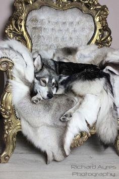 Ziva on the throne. by Richard Ayres #wolfalike #wolfdog #northerninuit #dog #throne