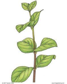 Propagate 37 Shrubs from Softwood Cuttings   Fine Gardening