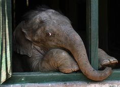 Rescued baby elephant at the IFAW Center for Wildlife Rehabilitation and Conservation