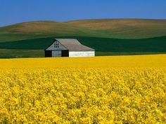 rapeseed flower fields in bulgaria near burgas