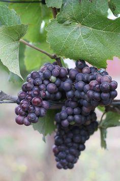 Plump, juicy Pinot noir from our Azaya vineyard #harvest2013