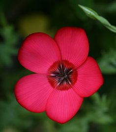 Scarlet Flax [Linum] - Flickr - Photo Sharing!