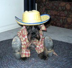 One minute more and Ill fill your boots. -- 30 Miniature Schnauzers who have had just about enough of dressing up.