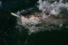 Here's a look at what's happening from Virginia to Maine with the annual migration of striped bass. Fishing Magazines, Sport Fishing, Red Fish, Bass, Virginia, Maine, Hunting, Seasons, Seasons Of The Year