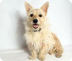 St. Louis, MO - Westie, West Highland White Terrier/Cairn Terrier Mix. Meet Whitney Westie Mix, a dog for adoption. http://www.adoptapet.com/pet/16555122-st-louis-missouri-westie-west-highland-white-terrier-mix