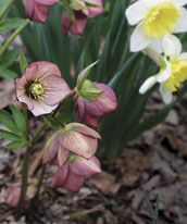 Adding hellebores to your garden expands the possibilities of the winter and spring landscape. They combine wonderfully with daffodils.