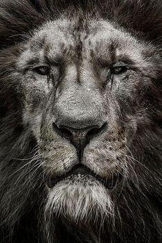 Lion by Jeff London