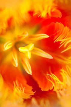 Tulip Macro Photograph by Jenny Rainbow Art Prints For Home, Home Art, Fine Art Prints, Framed Prints, All Flowers, Beautiful Flowers, Fine Art Photography, Tulips, Orange Color