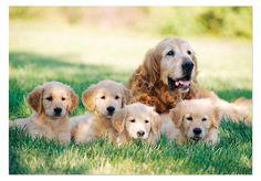 Golden Retriever with Puppies