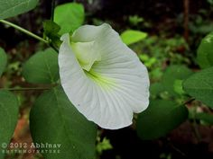 Sri Ganesha: Ganesha's Favourite Flowers - Conch Flower (white)...
