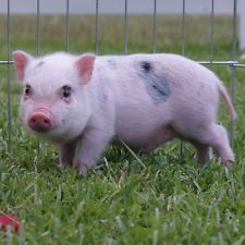 Mini Pigs are the perfect pets. Mini Pigs For Sale, Juliana Pigs, Baby Items, Pets, Happy, Ebay, Animals, Animales, Animaux
