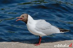 фото-птица-чайка-озерная