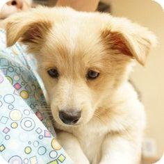 Walnut Creek, CA - Pomeranian/Chihuahua Mix. Meet Boilermaker a Puppy for Adoption.