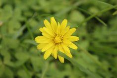 yellow Ligurian winter flower