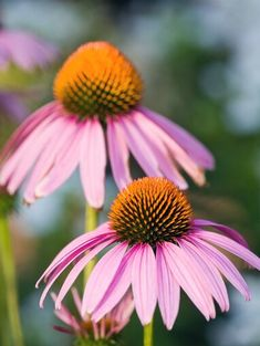 purple-coneflower-7c37fc1a Long Blooming Perennials, Best Perennials, Flowers Perennials, Shade Perennials, Shade Plants, Potted Plants, Planting In Clay, Perennial Geranium, Perennial Grasses