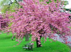 Backyard Getaway Landscaping Thin Hair Cuts blunt cuts for thin hair Cherry Blossom Tree, Blossom Trees, Cherry Tree, Pink Blossom, Swimming Pool Landscaping, Landscaping Trees, Dame Nature, Magnolia Trees, Magnolia Tree Types