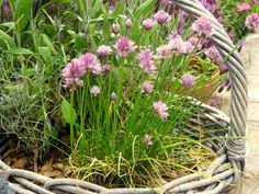 Kitchen Garden in a Junk Basket   For a Flea Market gardener, finding a large-weave rattan basket can be useful as a kitchen garden in a small garden or wher