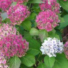 Une taille mal faite peut aboutir à une année sans fleurs d'hortensias. Regardons de plus un hortensia pour trouver le bon endroit de coupe.