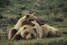 Grizzlys are a subspecies of the Brown Bear and generally found in North America. Description from monstermaneaters.tumblr.com. I searched for this on bing.com/images