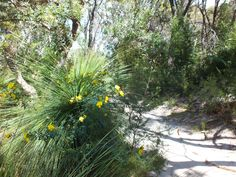 Grass tree on Tangle wood track