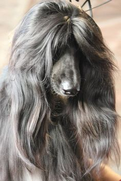this dog that has better hair than i do