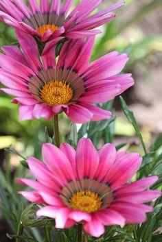 Pink Gazania flower