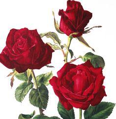 1962 Vintage Botanical art Red Roses art by FrenchVintagePrints