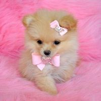 Tea cup Pomeranian!! so cute with the bows!!!