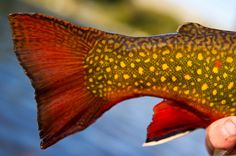 fish. red tail. yellow. spotted. | RP >  Fly Fishing | Jim Klug Outdoor
