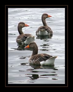 The Greylag Goose (also spelled Graylag in the United States), Anser anser, is a bird with a wide range in the Old World. Love Birds, Beautiful Birds, Animals Beautiful, Farm Animals, Animals And Pets, Cute Animals, Happy Animals, Wild Animals, Down On The Farm