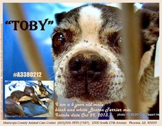Boston Terrier in need of rescue. Tick infested sweetie.  --Posted to DESERT HEARTS Animal Compassion -  Phoenix, Arizona -- 10/30/2013 https://www.facebook.com/desertheartsphoenix  Maricopa County Animal Care Center  (602)506-PETS (7387) 2500 South 27th Avenue   Phoenix, AZ  85009