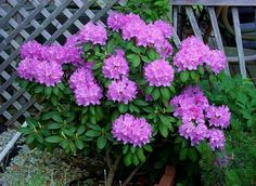 rhododendron, I've wanted one of these for a long time. I love the foliage of these!