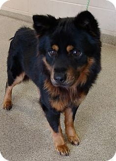 I am at a full, kill shelter in Troy, OH - Chow Chow Mix. Meet Flip, a dog for adoption. http://www.adoptapet.com/pet/17898314-troy-ohio-chow-chow-mix