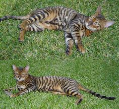 """The toyger is a breed of domestic cat, the result of breeding domestic shorthaired tabbies (beginning in the 1980s) to make them resemble a """"toy tiger"""", as its striped coat is reminiscent of the tiger's. The breed's creator, Judy Sugden, has stated that the breed was developed in order to inspire people to care about the conservation of tigers in the wild."""