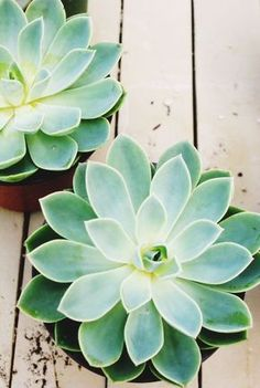 succulents Buy Succulents and cactus Plants … – Garten Plante Crassula, Cactus Plante, Echeveria, Air Plants, Garden Plants, Indoor Plants, House Plants, Potted Plants, Indoor Outdoor