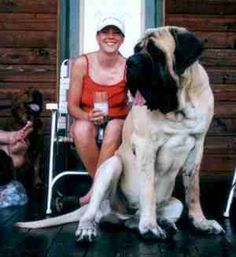 A veeerrryyy large bull mastiff - crazy to think that's actually a dog!