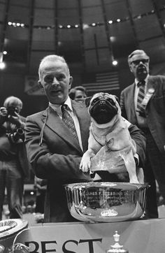 1981: Dhandys Favorite Woodchuck is the only pug to win Westminster Best in Show.  How no pug has won since then is beyond me!
