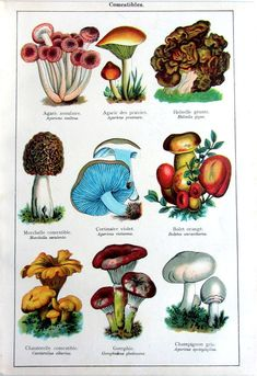 Hey, I found this really awesome Etsy listing at https://www.etsy.com/listing/294780559/1907-antique-edible-fungus-print