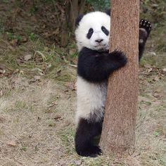いいね!82件、コメント9件 ― Panda Mayi さん(@pandamayi)のInstagramアカウント: 「#panda #giantpanda」