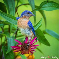 Tag #kings_birds The Artist @nature_in_light  Name of bird Eastern Bluebird  .  Our Congratulations!! ___________________________________ Specify the name of the bird!! ___________________________________ Please visit Her/His Gallery!! The best picture posted on: Fb (see address in bio) Twitter (@ Kings_hubs) ___________________________________  Pic chosen by @cekotto ___________________________________ Admins: @cekotto @mary.matty KINGS_BIRDS_ is Member of Kings_hubs . Visit the @Kings_Hubs…