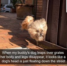 When my buddy's dog leaps over grates her body and legs disappear, it looks like a dog's head is just floating down the street Funny Dog Memes, Funny Animal Memes, Funny Animal Pictures, Cute Funny Animals, You Funny, Funny Cute, Funny Dogs, Funny Stuff, Funny Animals