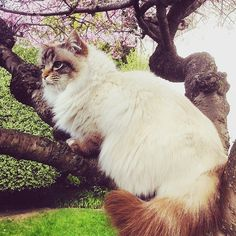 In New Zealand spring has arrived and our chocolatetabby friend Finn  @vickyfinnnz is celebrating in a blossoming tree  #birmans #birman #sacredbirman #heligbirma #birmania #birmanie #pyhäbirma #instabirmans #birmansofinstagram #blueeyes #whitecats #fluffycats #instacats #catsofinstagram #cats #kittens #instakittens #kittensofinstagram #lovecats #birmavanner #tabbycats #toocute #beautifulcats #excellentcats #tortiecats #cutepetclub #chocolatetabby #chokladtabby