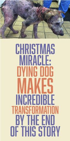 CHRISTMAS MIRACLE: Dying Dog Makes Incredible Transformation By The End of This Story I don't post this kinda stuff Cuz it's hard to watch but they were happy tears I promise I Love Dogs, Puppy Love, Rescue Dogs, Animal Rescue, Animals And Pets, Cute Animals, Stop Animal Cruelty, Dog Stories, Faith In Humanity