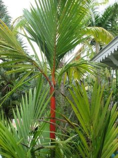 Palmiers Rouge-à-lèvre ( Cyrtostachys renda )